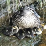 Ducklings hatched by the river